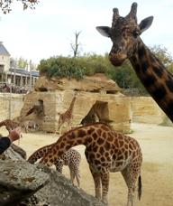 09-girafes-et-zebres.jpg