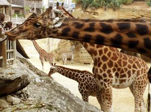 10-girafes-et-zebres.jpg