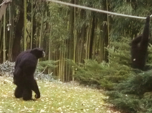 19-gorilles.jpg