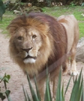 21-lion.JPG