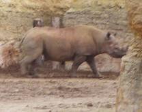 25-rhinoceros.JPG
